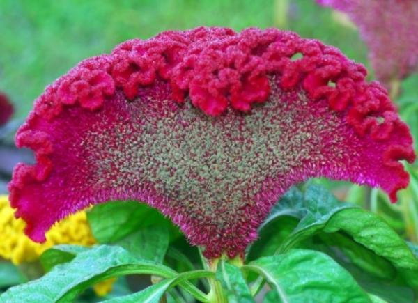 Целлозия гребенчатая: выращивание из семян, высадка в открытый грунт, уход