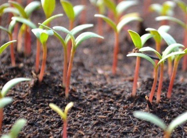 Когда сажать рассаду в 2020 году?