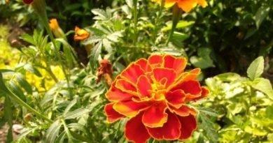 Чем полезны бархатцы на огороде и в саду?
